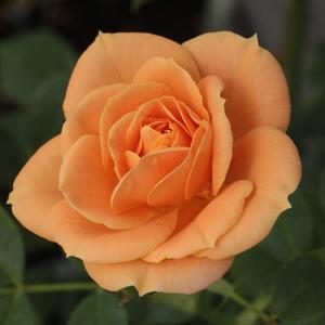 Rosa 'Apricot Clementine®' - barackos - narancs törpe - mini rózsa
