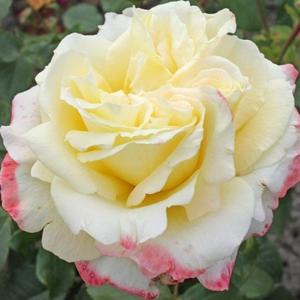 Rosa 'Athena®' - krémszínű, rózsaszín szegéllyel teahibrid rózsa