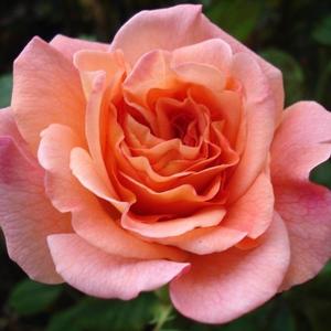 Rosa 'Augusta Luise®' - Barackos-sárga nosztalgia rózsa