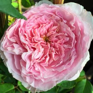 Rosa 'Ausbite' - világos rózsaszín angol rózsa