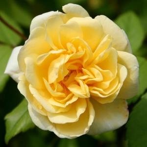 Rosa 'Auscanary' - sárga climber, futó rózsa