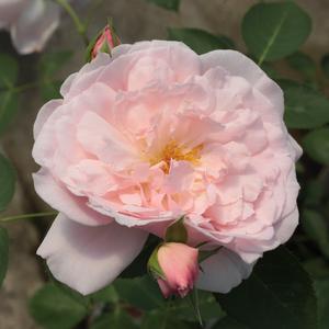Rosa 'Ausclub' – Halvány rózsaszín angol rózsa