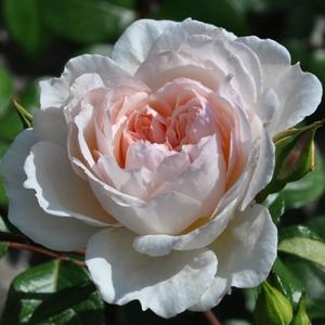 Rosa 'Ausdrawn' – halvány rózsaszín angol rózsa
