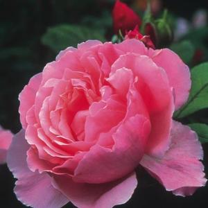 Rosa 'Ausglobe' - rózsaszín angol rózsa