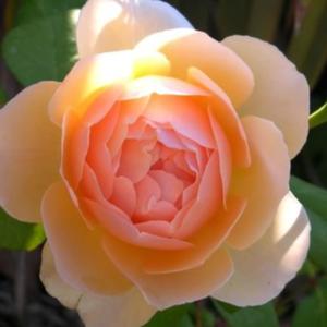 Rosa 'Ausjo' - baracksárga angol rózsa