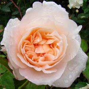 Rosa 'Ausjolly' - Barackos rózsaszín angol rózsa