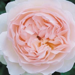 Rosa 'Ausreef' - halvány rózsaszín angol rózsa