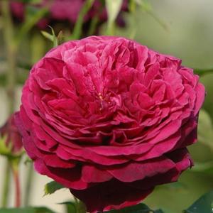 Rosa 'Ausvelvet' - sötétvörös angol rózsa