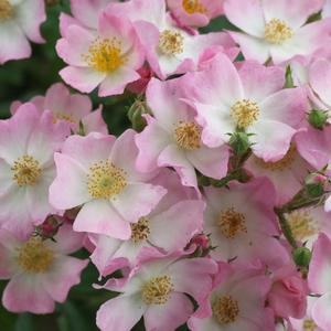 Rosa 'Ballerina' - világos rózsaszín parkrózsa