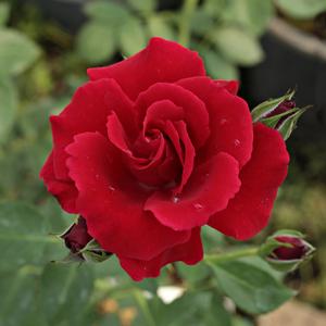 Rosa 'Bánát' - Meggypiros climber, futó rózsa