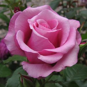 Rosa 'Barbra Streisand' - Lilás-rózsaszín teahibrid rózsa