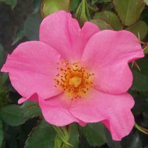 Rosa 'Barbie™' - Világos rózsaszín virágágyi polianta rózsa