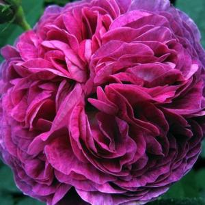 Rosa 'Belle de Crécy' - lila történelmi - gallica rózsa