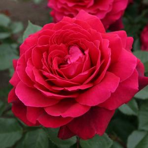 Rosa 'Bellevue ®' - vörös teahibrid rózsa