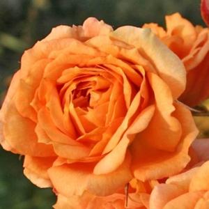 Rosa 'Bentheimer Gold ®' - barackos - narancs virágágyi floribunda rózsa