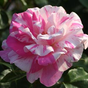 Rosa 'Berlingot' - fehér, rózsaszín csíkos virágágyi floribunda rózsa