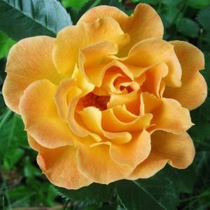 Rosa 'Bessy' - narancssárga talajtakaró rózsa