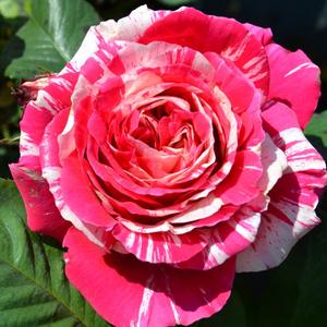 Rosa 'Best Impression®' - Rózsaszín-fehér csíkos teahibrid rózsa