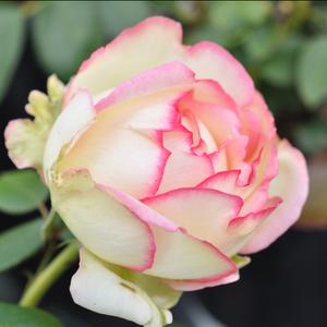 Rosa 'Biedermeier®' - Krémfehér - rózsaszín szegéllyel törpe - mini rózsa