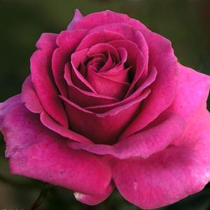 Rosa 'Blackberry Nip' - - teahibrid rózsa