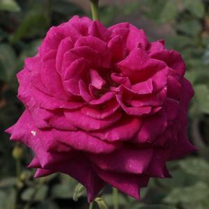 Rosa 'Blauwestad' – Sötét rózsaszín, mályva árnyalattal virágágyi floribunda rózsa