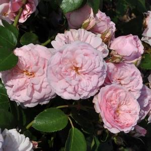 Rosa 'Blush™' - Halvány rózsaszín talajtakaró rózsa