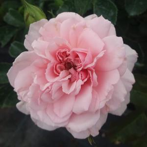 Rosa 'Blush™ Winterjewel®' - Világos rózsaszín nosztalgia rózsa