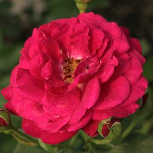 Rosa 'Bordeaux ®' - vörös virágágyi floribunda rózsa