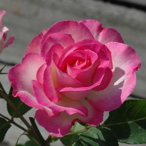 Rosa 'Bordure Rose' - fehér, rózsaszín szegéllyel virágágyi floribunda rózsa