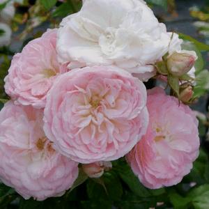 Rosa 'Bouquet Parfait®' - fehér, halvány rózsaszín széllel parkrózsa