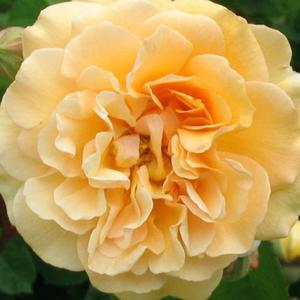 Rosa 'Buff Beauty' - narancsos sárga parkrózsa