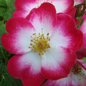 Rosa 'Bukavu®' - fehér központú, cseresznyepiros széllel parkrózsa