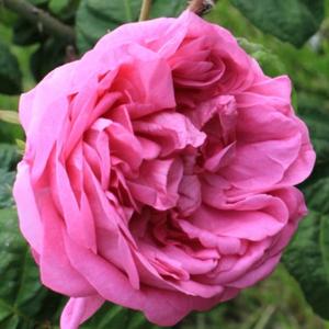 Rosa 'Bullata' – sötét rózsaszín történelmi - centifolia rózsa