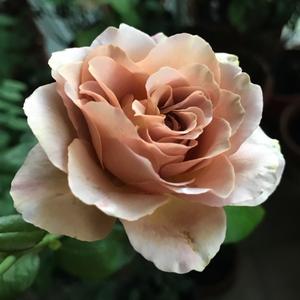Rosa 'Caffe Latte' - barnás sárga virágágyi floribunda rózsa