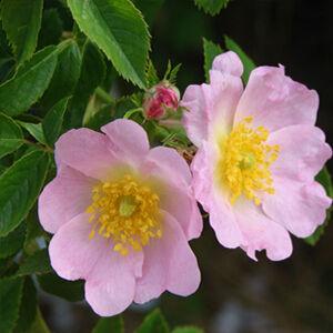 Rosa canina - Vadrózsa