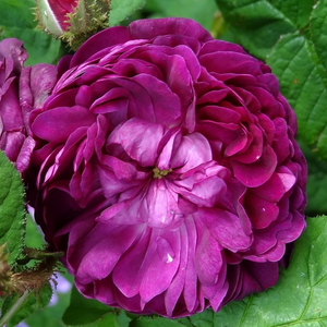 Rosa 'Capitaine John Ingram' - sötétlila történelmi - moha rózsa