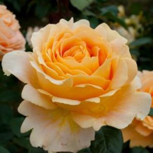 Rosa 'Cappuccino®' - krémsárga teahibrid rózsa