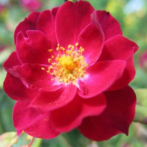 Rosa 'Cardinal Hume' - lilás-piros parkrózsa