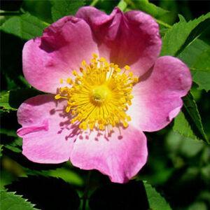 Rosa carolina - Karolina vadrózsa