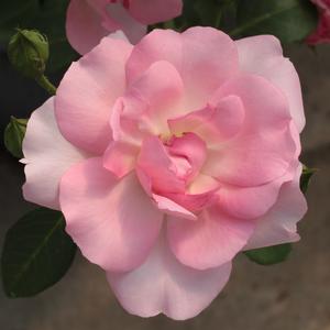 Rosa 'Centenaire de Lourdes' - élénk rózsaszín virágágyi floribunda rózsa
