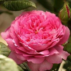 Rosa 'Chantal Mérieux' - rózsaszín nosztalgia rózsa