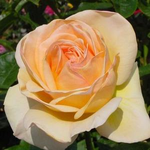 Rosa 'Charlie Chaplin' - Barackszínű teahibrid rózsa
