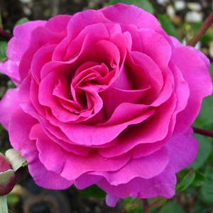 Rosa 'Chartreuse de Parme' - Lilás rózsaszín teahibrid rózsa