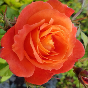 Rosa 'Christchurch' - narancssárga virágágyi floribunda rózsa