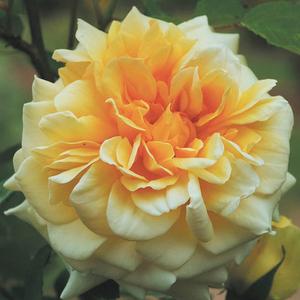 Rosa 'Claudia Cardinale' - sárga nosztalgia rózsa