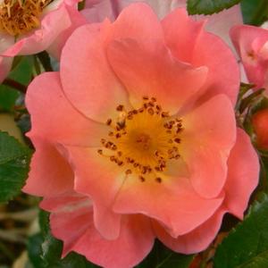 Rosa 'Coco ®' - narancsos rózsaszín törpe - mini rózsa