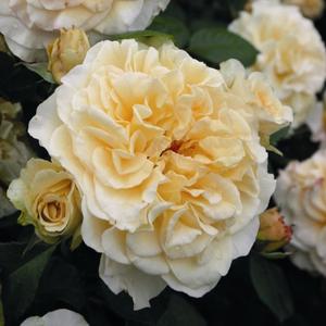 Rosa 'Comtessa®' - krémszínű teahibrid rózsa
