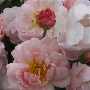 Rosa 'Cornelia' - rózsaszín parkrózsa