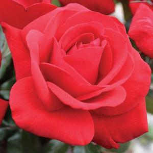 Rosa 'Corrida' - Vörös teahibrid rózsa