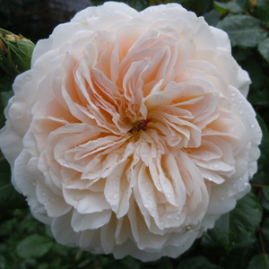 Rosa 'Crocus Rose' - fehér angol rózsa